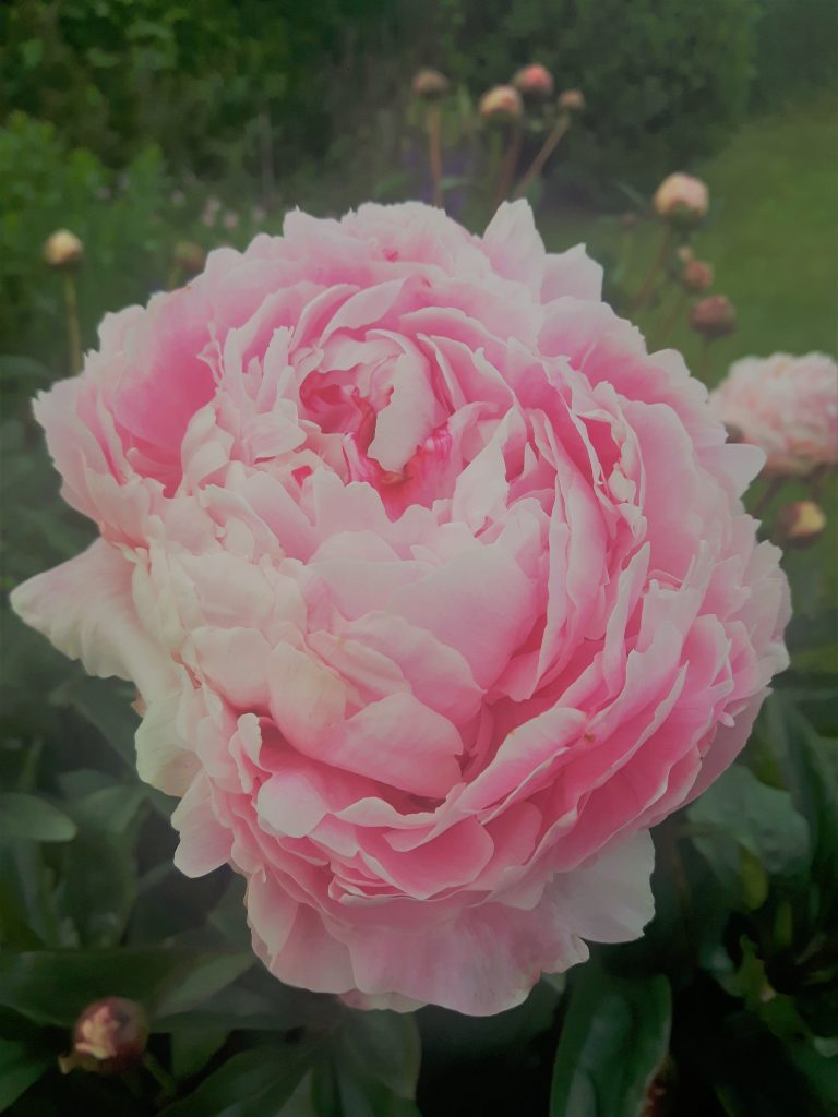 Close up of an open pink peony, surrounded by peony buds