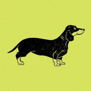 close up of dachshund on pistachio green wrapping paper background